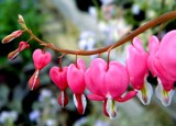 Bleeding Hearts by rhelms, Photography->Flowers gallery