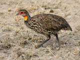 swainson's francolin by jeenie11, Photography->Birds gallery