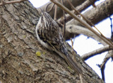 Brown Creeper by mike100, Photography->Birds gallery