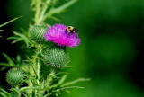 thistle with bee by solita17, Photography->Flowers gallery