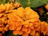 Golden Zinnia by trixxie17, photography->flowers gallery