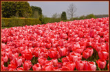Greetings From Holland 3 of 4 by corngrowth, Photography->Flowers gallery