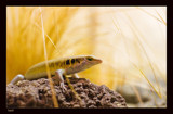 Some Lizard by kodo34, Photography->Reptiles/amphibians gallery