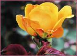 Bud by trixxie17, photography->flowers gallery