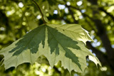 Norway Variegated Maple by phasmid, Photography->Nature gallery