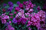 Stock (Matthiola incana) by LynEve, photography->flowers gallery