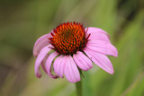Coneflower by Pistos, photography->flowers gallery