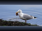 Sushi Treat by mayne, Photography->Birds gallery