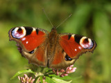 Peacock butterfly - Inachis io by ekowalska, Photography->Butterflies gallery