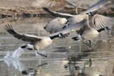 Running on Water by garrettparkinson, photography->birds gallery