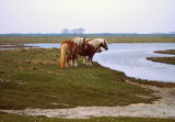 Zeeland Countryside (19), Waiting for the Ferry? by corngrowth, Photography->Animals gallery