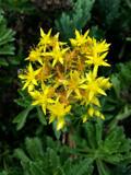 Yellow Sedum by Pistos, photography->flowers gallery