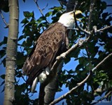 Bald Eagle # 2 by picardroe, photography->birds gallery