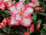 Azalea by trixxie17, photography->flowers gallery