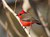 Vermilion Flycatcher by Fleas, Photography->Birds gallery