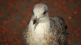 Juvenile by braces, photography->birds gallery