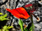 Impending Death of a Poppy by snapshooter87, photography->flowers gallery