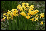 The Daffies Have it !! by verenabloo, Photography->Flowers gallery