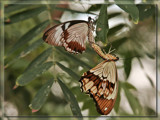 Butterfly Twenty Three..or..Preserving The Species by Jimbobedsel, Photography->Butterflies gallery