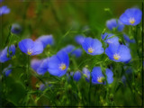 Wild Blues by wheedance, Photography->Flowers gallery