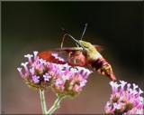 Alien Hummer #2 by tigger3, photography->butterflies gallery