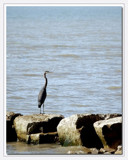 Along Shores Of Lake Erie by gerryp, Photography->Birds gallery