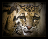 Clouded leopard 2 by JQ, Photography->Animals gallery