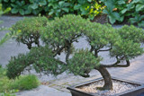 Bonsai by Ramad, photography->gardens gallery