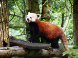 Red Panda by angelicem, photography->animals gallery