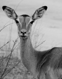Antelope South Africa by bif000, Photography->Animals gallery