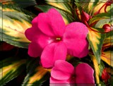 New Guinea Impatiens by trixxie17, photography->flowers gallery