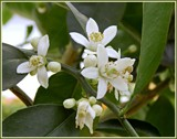 Lime Tree Flowers by trixxie17, photography->flowers gallery