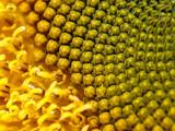 Heart of a Sunflower by Samatar, Photography->Macro gallery