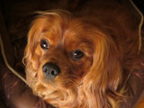 """Copper Casing (aka """"Casey"""") by sharonva, photography->pets gallery"""