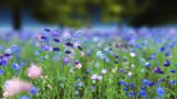 Cornflower Blue by Akeraios, computer->landscape gallery