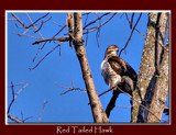 Red Tailed Hawk by gerryp, Photography->Birds gallery