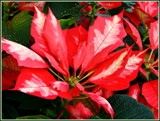 1st Poinsettia by trixxie17, holidays->christmas gallery