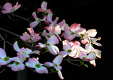 Pink Dogwood by 0930_23, photography->flowers gallery