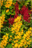 F² Astilbe & Lysimachia by corngrowth, photography->flowers gallery