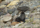 Resting Fur Seals by LynEve, photography->animals gallery