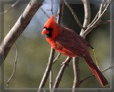 Songbird Capture_The Cardinal by tigger3, photography->birds gallery