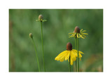 Coneflower 1 by gerryp, Photography->Flowers gallery