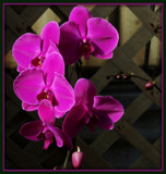 Phalaenopsis by trixxie17, Photography->Flowers gallery