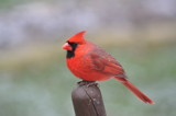 cardinal by fivepatch, photography->birds gallery