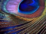 Peacock by gizmo7, Photography->Macro gallery