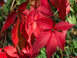 Autumn's Poinsettia by kidder, Photography->Nature gallery
