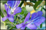Rosemary Bloom by armasoub, photography->macro gallery