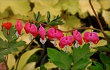 Bleeding Hearts by trixxie17, photography->flowers gallery