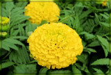 Giant Marigold by trixxie17, photography->flowers gallery