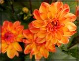 Dahlia Impression by trixxie17, photography->flowers gallery
